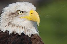 Check out bald eagle by De todo un poco on Creative Market