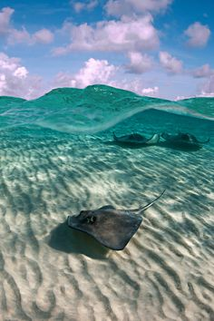 Stingrays. It looks like they are flying the water is so clear.