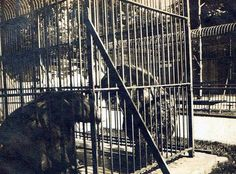Hal & Al the Lincoln Park Bears, Galesburg Illinois.  Later (Mid-1950's) they were moved to a Chicago Zoo for larger enclosure.