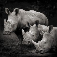 Rhinos. By Nick Brandt #iamforrhinos #iam4rhinos