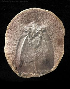 Carboniferous era cockroach
