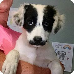 Australian Shepherd/Border Collie Mix Dog for adoption in Waynesville, North Carolina - Candi