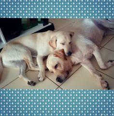 Boa noite aumigos!   #Harry #giuseppe #Labrador #Retriever #filhotes #cachorro #dog #Instadog #instaharry #instapet #dogslovers #puppy #pup #doggie #pet #lab #yellowlab #golden #talesofalab #babydog #loveanimals #labragram #laboftheday #worldoflabs #photo #instagram #followme #sunday #Domingo by labradoresharryegiuseppe
