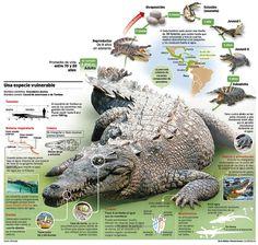 infografia de cocodrilos - Buscar con Google