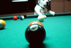 Wow, this dog sure knows how to play #pool. He can be quite a mentor to anyone who's interested in learning how to play.