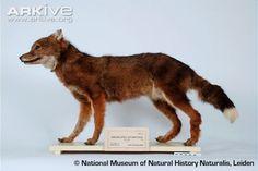 Mounted skin of female Falkland Island wolf