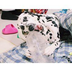 ----- 宝物のように抱えて、ペットボトルカミカミ #dalmatian #dalmatians #dalmatiansofinstagram #dalmatians_of_instagram #dog #dogsofinstagram #west_dog_japan #ダルメシアン #わんこ
