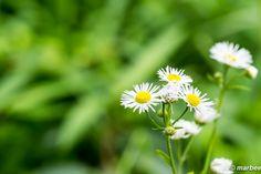 写真 春紫菀 雑草扱いされている花