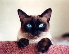 HI!! I´m a siamese cat
