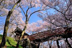 287:「高遠城址公園には、桜の枝が欄干まで垂れる桜雲橋があり、大変風情のある木の橋で迫力を求めるため橋下より撮影する。」@高遠城址公園