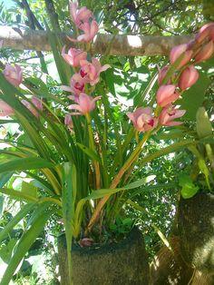 Fotos: Orquídeas Cymbidium