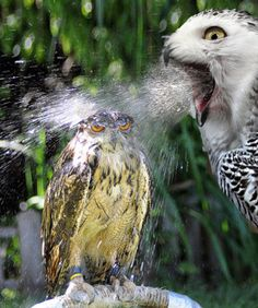 Mother Owl Gives Her Baby A Bath