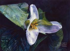 Trillium Watercolor Print - realistic botanical watercolor painting by Jacqueline Tribble