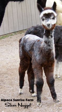 ALPACA CRIA. Alpaca Sunrise Farm is a full-service Alpaca farm since 1998 • Alpaca sales • breeding • boarding • Alpaca raw fiber, yarn, roving sales for knitters, crocheters, weavers and fiber artists.