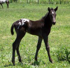 Appaloosa foal