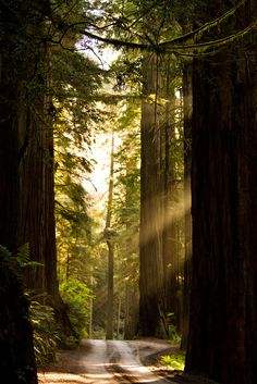 "Redwoods State Park, California by JuneBugGemplr on Flickr. ""Rays of sunshine reflect through the gigantic trees as you drive down the small road into the Jedediah Smith Redwoods State Park."""