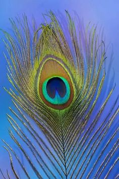 Photographic Print: Male Peacock Display Tail Feathers by Darrell Gulin : Male Peacock, Peacock Tail, Peacock Feathers, Peacock Wall Art, Peacock Painting, Peacock Images, Feather Photography, Architecture Art Design, Peacock Colors