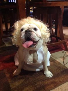 Sophie Loren as Marilyn Bulldog Breeds, English Bulldog Puppies, English Bulldogs, Warm Fuzzies, Puppy Love, Best Dogs, Happy Halloween, Fur Babies, Cute Dogs