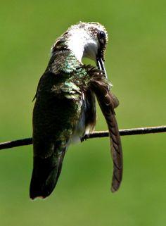 Hummingbird Preening her Feathers