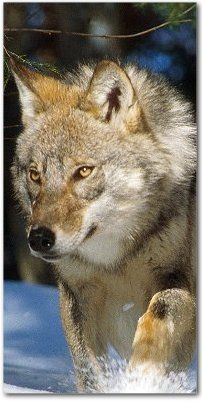 Wolves and Humans Foundation - the UK's only dedicated charity for wolves -- explains why wolves are important.