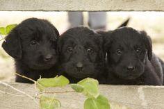 I <3 black Labradoodles!