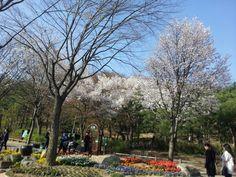 Cherry blossoms in the Park near the Hyatt.
