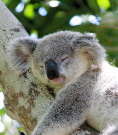 Resultado de imágenes de Google para http://4.bp.blogspot.com/_0P7ZCnnT_b8/S_8h6we7HeI/AAAAAAAAACY/8llBx-IwYfs/s1600/koala2.jpg