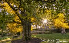 Love it when the Ginkgo tree in Candie turns gold towards the middle of November. Not quite fully in it's golden glory yet, but thought I would capture the scene before the wind erases it for another year! #Guernsey #GreatThings  Link to the whole collection of 'Georgie's Guernsey' :-http://chrisgeorge.dphoto.com/#/album/4daaes  Picture Ref: 09_11_15 — at Candie Gardens, Guernsey.