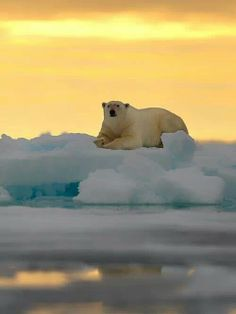 Polar bear at sunset