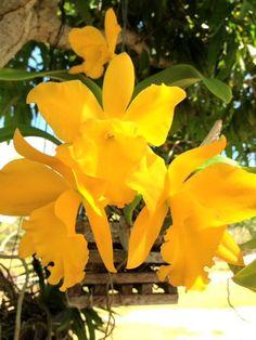 Beautiful Yellow #Orchids #cayman #colourmeyellow