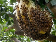 If you want to exercise more, but can't afford the expensive programs on the market, find a big bee hive and nail it like a piñata. What Is A Bee, Beehive Image, Facial Warts, Hives And Honey, Big Bee, Money And Happiness, Bee Swarm, Dry Leaf, Garden Trees