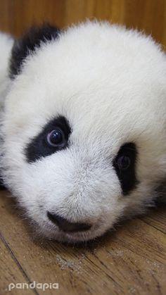 I am Zhen duo duo, these are my head shot. Am I cute? Baby Pandas, Am I Cute, Panda Bear, Bears, Cute Animals, Wildlife, Wallpapers, Animals, Panda Babies
