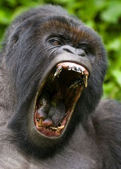 gorilla roar - Google Search