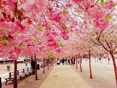 cherri, sweden, pink flowers, japan, blossom trees, walkway, place, bucket lists, cherry blossoms