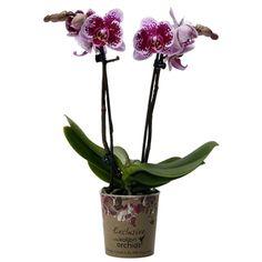 Little kolibri orchid bora bora Accounting, Bora Bora, Business Accounting