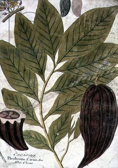 T03691 Theobroma Cacao (Cocoa, Chocolate Plant) 18th century (hand-coloured engraving) by German School, (18th century) - Bridgeman art images & historical footage for licensing