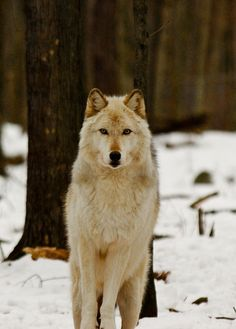 Arctic Wolf by RickyNJ, via Flickr