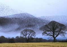 Flock of Starlings over Scotland