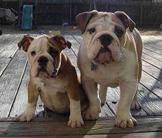 Cão Bulldog Inglês