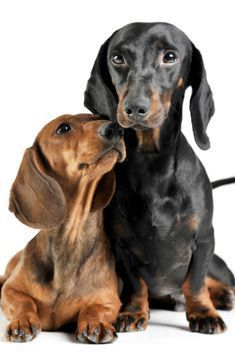Studio Shot Of An Adorable Short Haired Dachshund Making Friends