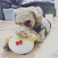 ᶠᴿᴵᴰᴬʸ ᴹᴼᴿᴺᴵᴺᴳ ¨̮ 日本のばあばとじいじから荷物が届いたよ 朝から新しいおもちゃ3つも貰ってHappyなジャック ...................................................... #newtoy #chick #🐩 #lovepuppy #excellent_dog #bestwoof #dog #toypoodle #puppy #fluffy #dogoftheday #dogsofinstagram #dogstagram #instadog #いぬら部 #わんこ #トイプードル #プードル #貴賓犬 #푸들 #ふわもこ部 #愛犬 #写真好きな人と繋がりたい #radicaおともだちワンコ