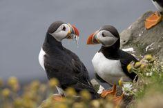 Distinctive puffins, just one bird species found along the coast