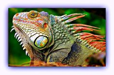 images of colorful lizards | colorful lizard