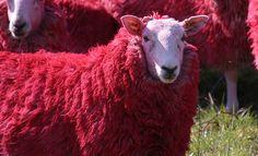 RED sheep of Scotland by Bathgate Wildlife, via Flickr