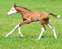 2016 colt by Bodemeister out of Out for Revenge, by Bernardini. Appears to be a new splash mutation. (Photo by Anne Eberhardt)