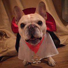 Walter Cronkite, French Bulldog in a Dracula Costume. ; )