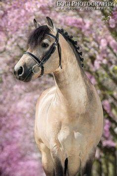 Buckskin All The Pretty Horses, Beautiful Horses, Animals Beautiful, Horse Photos, Horse Pictures, Buckskin Horses, Majestic Horse, Connemara, Belleza Natural
