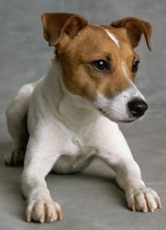 Jack Russell Puppies Jack Russell Terrier - looks like our Jack! Perros Jack Russell, Jack Russell Puppies, Jack Russell Mix, Jack Russell Terriers, Cute Puppies, Cute Dogs, Dogs And Puppies, Baby Dogs, Doggies