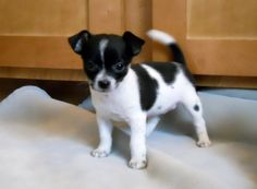 Teacup Chihuahua - love the black and white. reminds me of Lola
