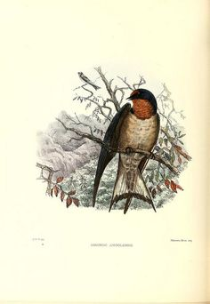 wapiti3:  A monograph of the Hirundinidae : or family of swallows on Flickr. Via Flickr: By Sharpe, Richard Bowdler,  Wyatt, Claude W. ...